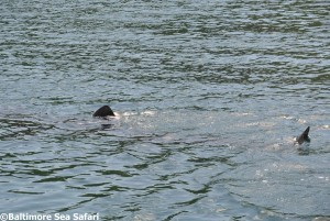 A Basking Shark cruising in South Harbour, Cape Clear Island near Baltimore