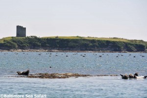 Atlantic Grey seals hauled out in the brilliant West Cork sunshine, with Ringacolisky Castle