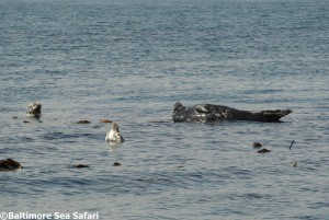 Atlantic grey seals near Cape Clear in West Cork