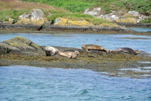 Common seals keeping an eye on seal watchers