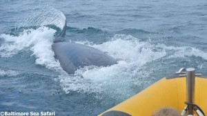 Minke whale lunge feeds near our boat 'Seafari 1'