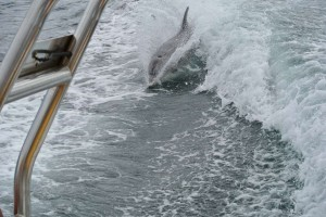Surfs Up Dude – A dolphin surfing our stern wake