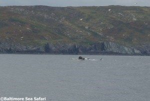 A fin whale inshore off Baltimore, West Cork, Ireland 1