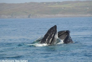 Humpback whale lunge feeding in West Cork