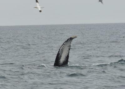 Whale tail fluke