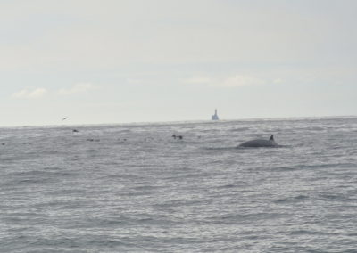 A whale nera the Fastnet