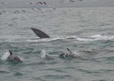 A whale and doplhins feeding on Sprats