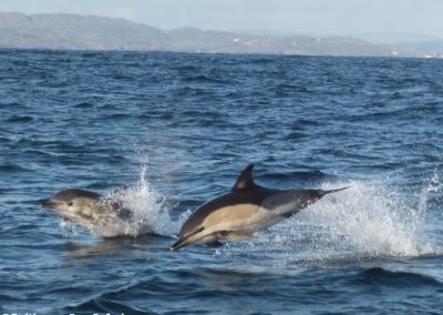 Dolphins leaping