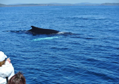 Humpback whale watching in West Cork with Baltimore Sea Safari