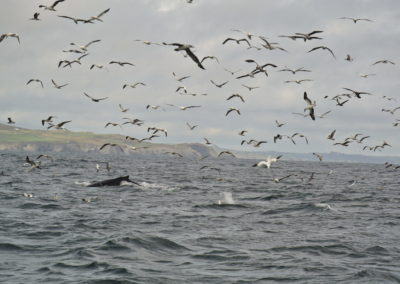 Humpback whale watching in West Cork