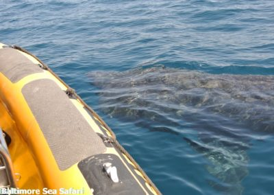Huge Basking shark