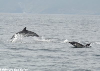 common dolphins travelling at speed