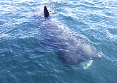 Basking shark watching west Cork