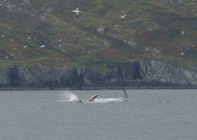 Fin whale at Sherkin island