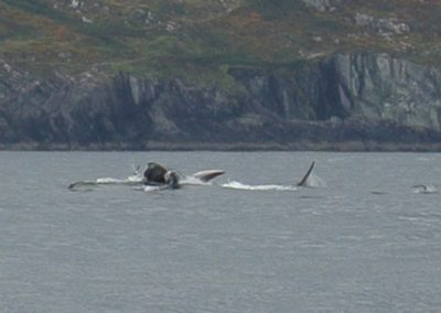 a Fin whale lunge feeding