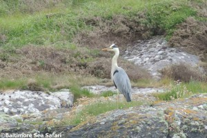 A Grey heron stands peacefully still