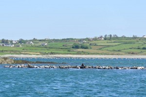 Atlantic Grey Seals in Roaringwater Bay on the Wild Atlantic Way West Cork
