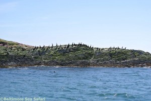 Cormorants gathered on the Carthies Islands near Schull in West Cork