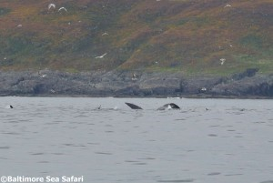 Outstanding Fin Whale Watching Off Baltimore in West Cork, Ireland