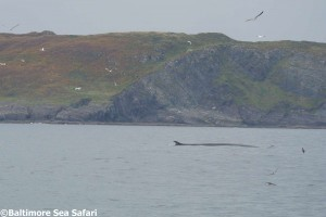 Baltimore Sea Safari whale and dolphin watching in West Cork