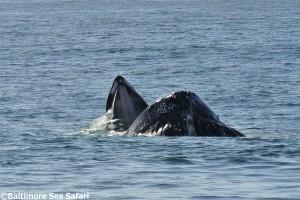 A humpback whale bubble net feeding