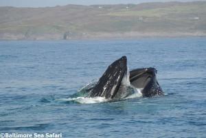 Humpback whale lunge feeding in West Cork