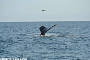 Humpback whale tail flukes in West Cork