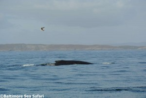 Humpback whale watching off Baltimore in West Cork, Ireland with Baltimore sea safari