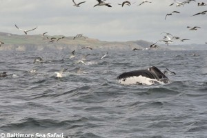 Humpback whale with a mouth full of sprats