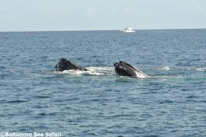 Two Humpback whales bubble net feeding