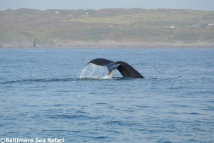 Water cascades from a whale fluke