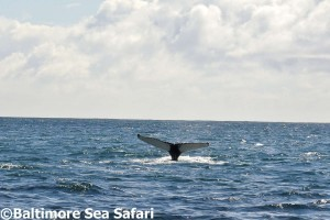 Whale tail flukes in the air