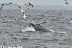 Whale watching in West Cork – Baltimore Sea Safari