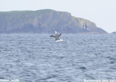 A Basking shark breaching