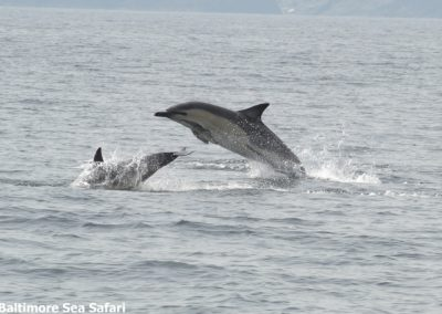 Dolphins leaping in West Cork