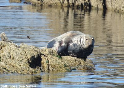 Seal watching in West Cork