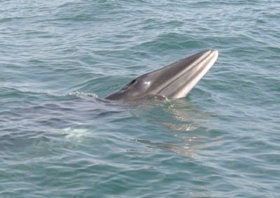 Minke whale in west Cork