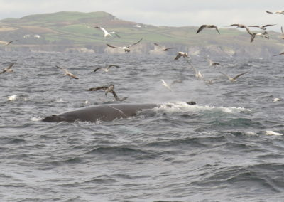Wild Atlantic Way whale watching