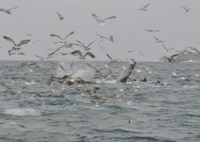 Fin whales, Common dolphins, Bluefin Tuna and a myriad of seabirds compete for a baitball