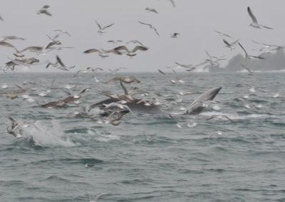 Fin whale lunge feeding in Cork, Ireland