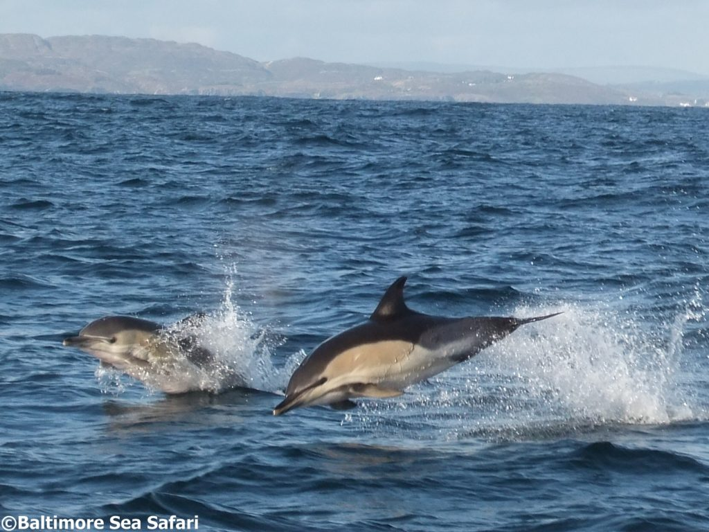 Common dolphins leaping off Baltimore in Ireland