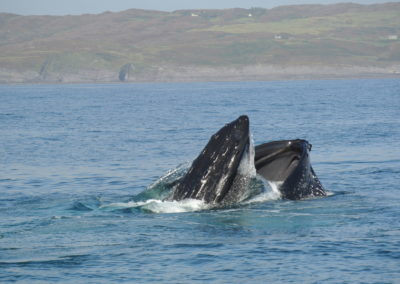 Humpback whale surfacing swallowing Sprats