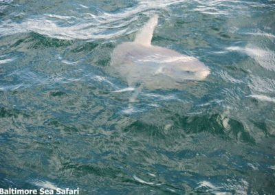 Ocean Sunfish 'Mola Mola' in West Cork