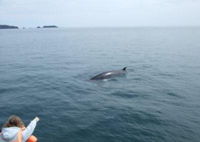 whale approaching a Baltimore Sea Safari boat