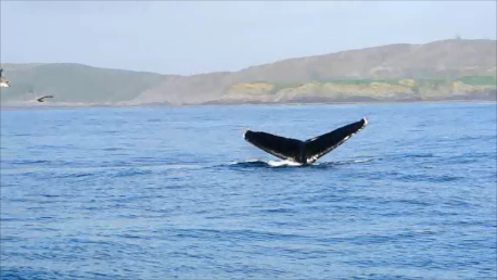 Humpback whale tail fluking