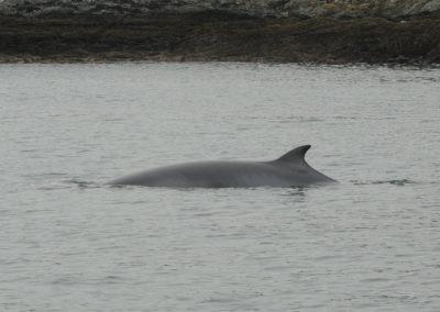 Minke whale watching Ireland