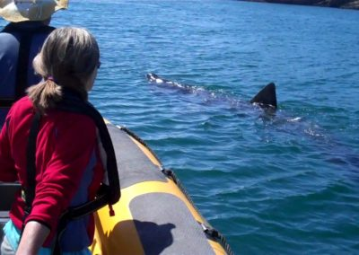 Watching a Basking shark with Baltimore Sea Safari