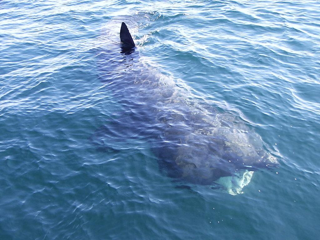 Basking shark watching on the Wild Atlantic way
