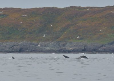 Fin whales on Irelands Wild Atlantic Way
