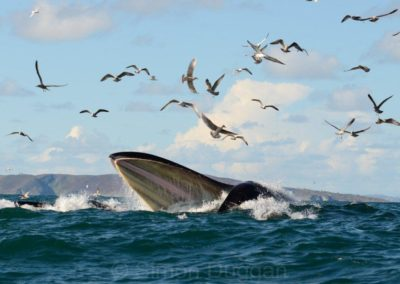 Fantastic photo of a Fin whale lunge feeding